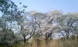 2018行田の桜