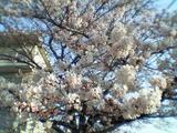 050406桜