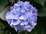 大和の実家のお隣の紫陽花