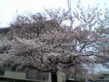 050407桜