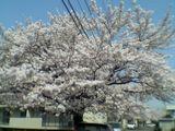 050410桜