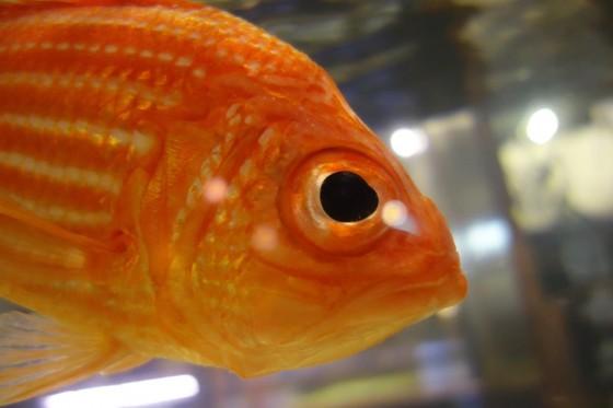 実は珍しい魚