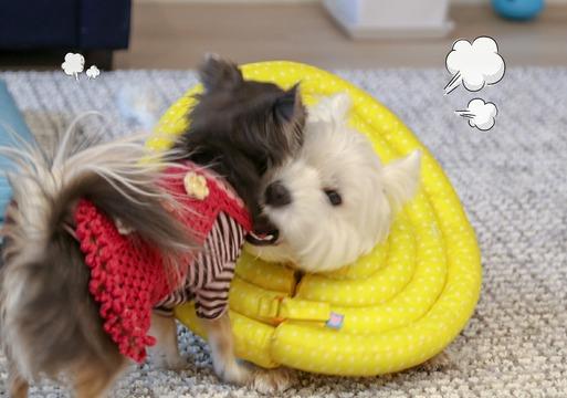 【犬】エリザベスカラーとゆきち。