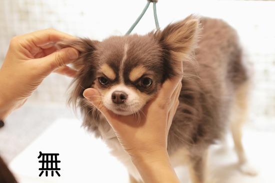 【チワワ】がんばる(?)犬  その②