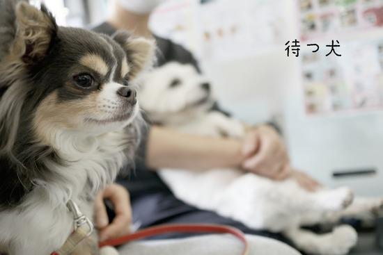 【犬】フィラリアのお薬のシーズンになりました。