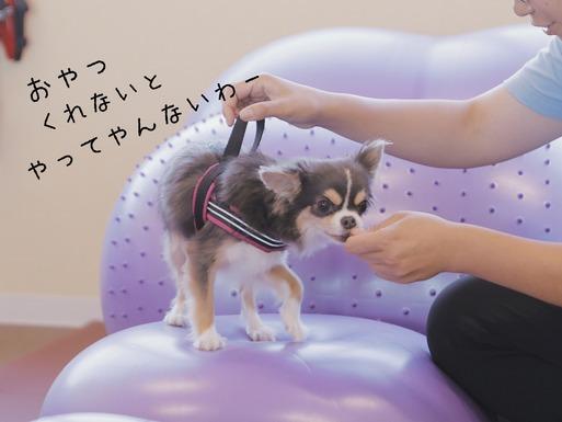 【チワワ】ドッグフィットネスに挑戦!!