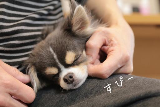 【チワワ】飼い主①、②が寝ているチワワを撫でてみた時の反応の違い