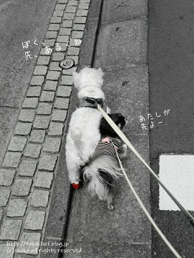【チワワ】まりちゃんの努力により~