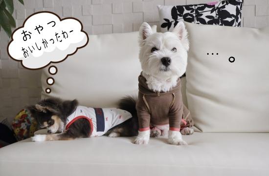 【チワワ&ウエスティ】チャッカりなチワワ。とヘタレな犬。