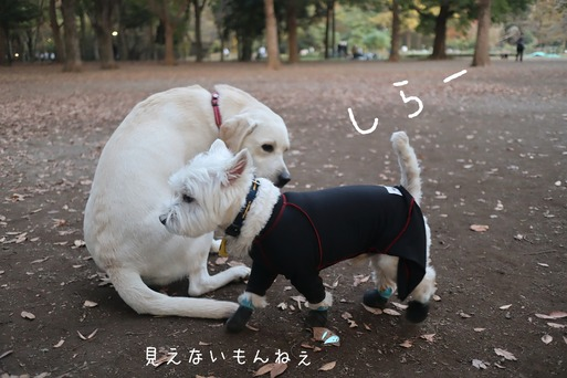 【ウエスティ】ビビり白犬が、ドッグランではじめて大型犬エリアに入った反応(笑)