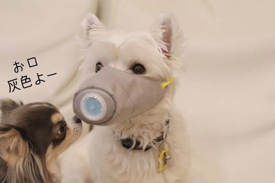 【ウエスティ】犬がコロナに感染するのか気になっていたさなかの気になったニュース2つ。