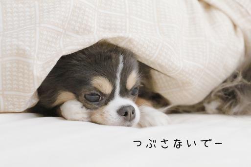【チワワ】もぐり犬