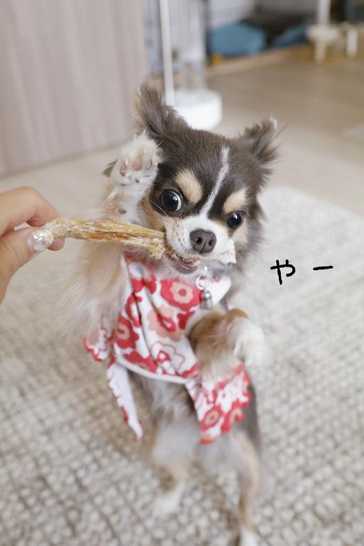 【チワワ】やる気のない飼い主とやる気満々チワワ