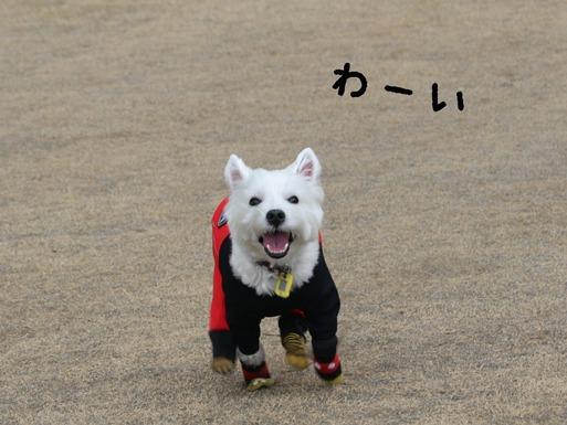 【ウエスティ】ぱしったぞ~