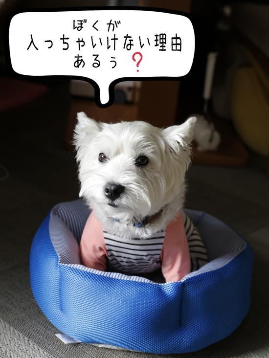 【妹がやってきた】ひょっとしたら、体の大きさを知らない犬