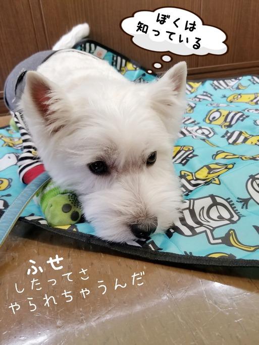 【ウエスティ】身に迫る危機を察してる白犬