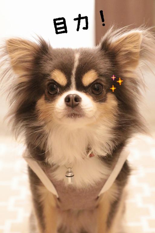 【チワワ&ウエスティ】チワワと白犬と飼い主、誰が一番、楽しいのか?