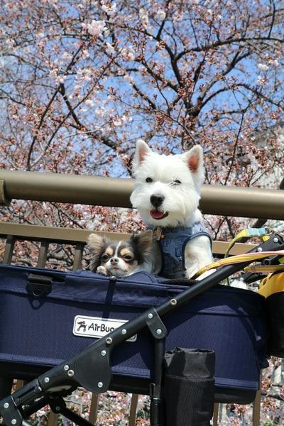 桜満開 ウエスティ チワワ