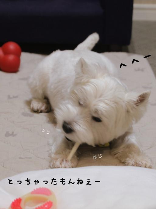 【ウエスティ】手柄を自慢したい犬