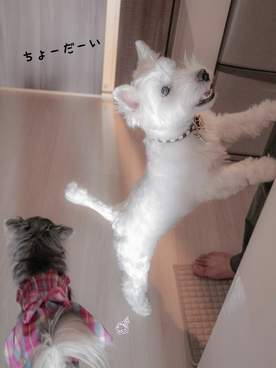 【ウエスティ&チワワ】お手本