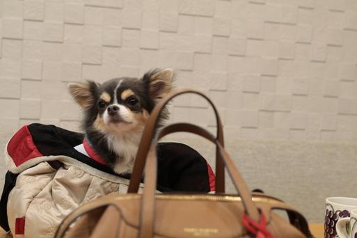 【チワワ】出かけたいチワワ その② ~そだ!まりちゃんのバッグにも底板を敷こう!~
