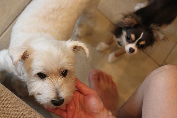 ブランカ 犬 ホワイトテリア