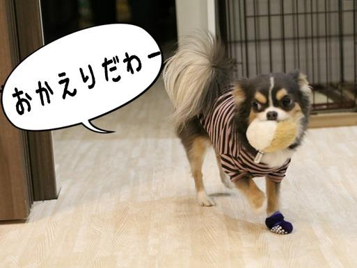 【犬】チワワのまりちゃんが、飼い主のお出迎えにすること