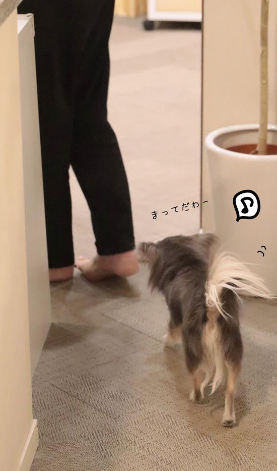 【チワワ】あるじと、飼い犬の仲良しの理由