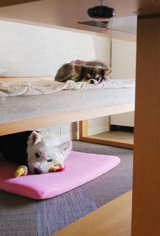 【チワワ&ウエスティ】愛犬の主張