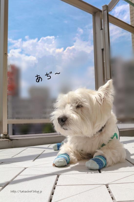 【ウエスティ】暑い日・・・。