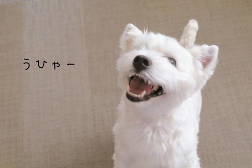 【ウエスティ】白犬の永遠の課題。と飼い主の永遠の課題