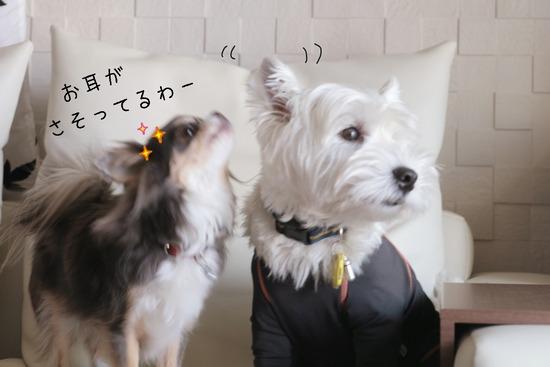 【チワワ&ウエスティ】耳好きなチワワ