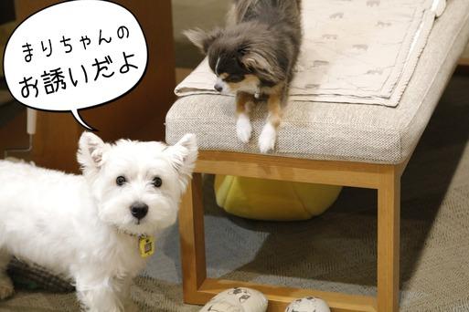 【ウエスティ&チワワ】戦いに気を使う白い犬