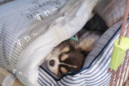 【チワワ】お気に入りだった寝床をゲットしたぞ~