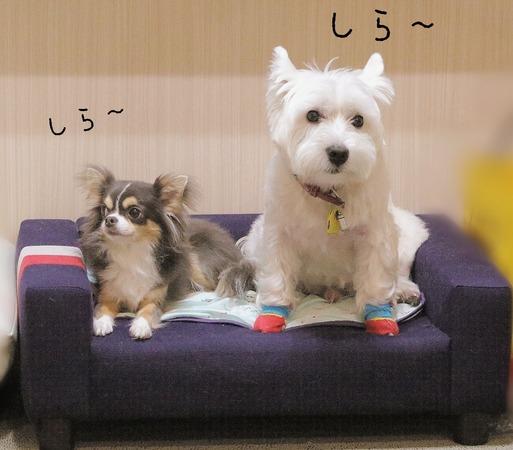 【チワワ&ウエスティ】何?