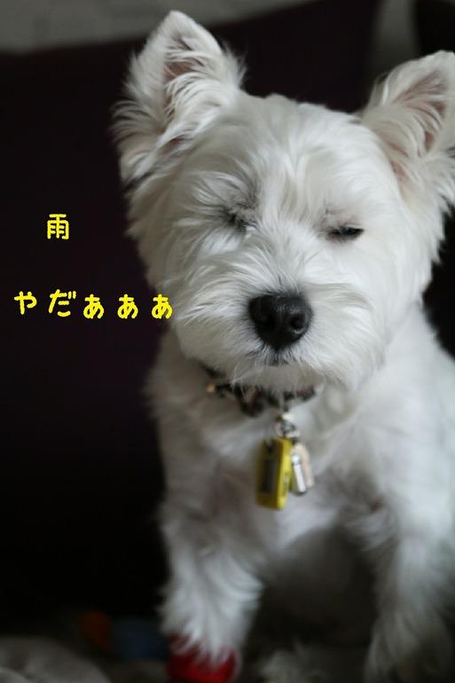 【犬】今日も雨