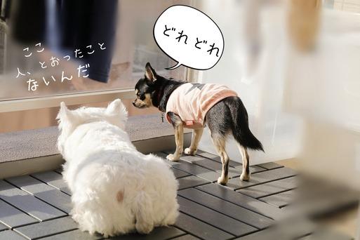 【ウエスティ&チワワ】師匠・・・