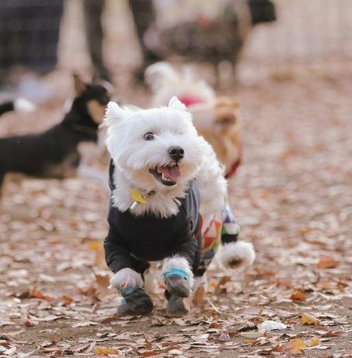 【ウエスティ】ドッグランの我が犬の行動をみて、鍛えなくてはと思った瞬間