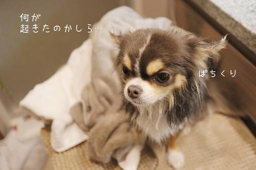 【チワワ】シャンプー