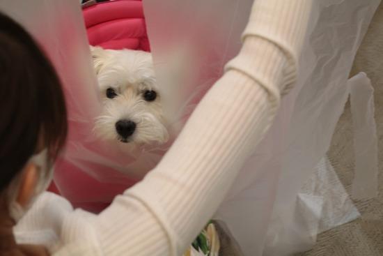 【チワワ&ウエスティ】ビニール袋で防護具を作る飼い主を見守る犬たち