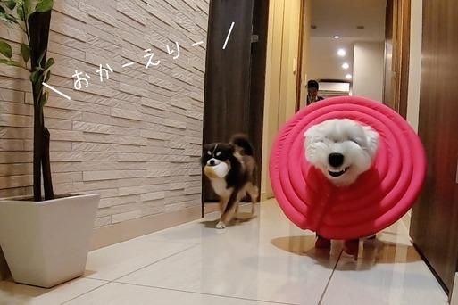 【チワワ&ウエスティ】犬と飼い主の日常
