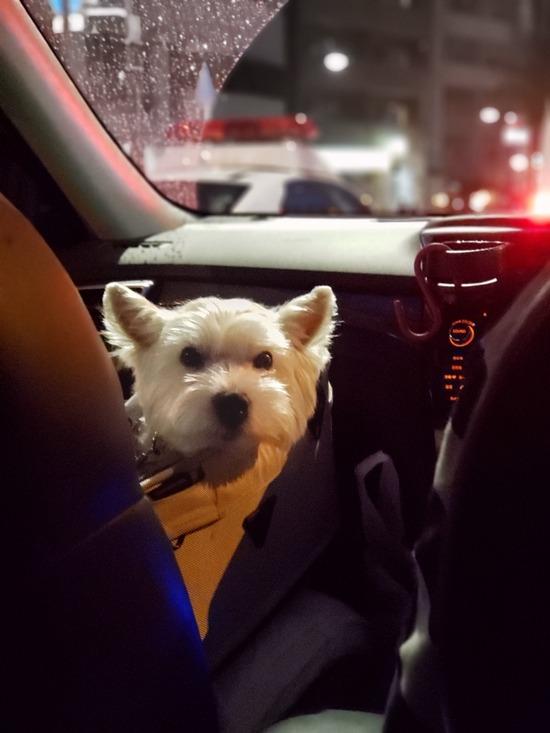 【ウエスティ】お散歩、失敗におわる。納得いかない白犬