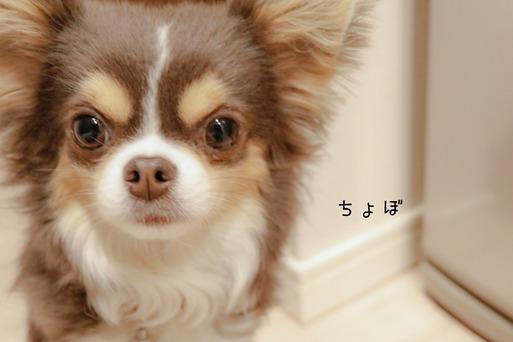 【チワワ&ウエスティ】するどい!!