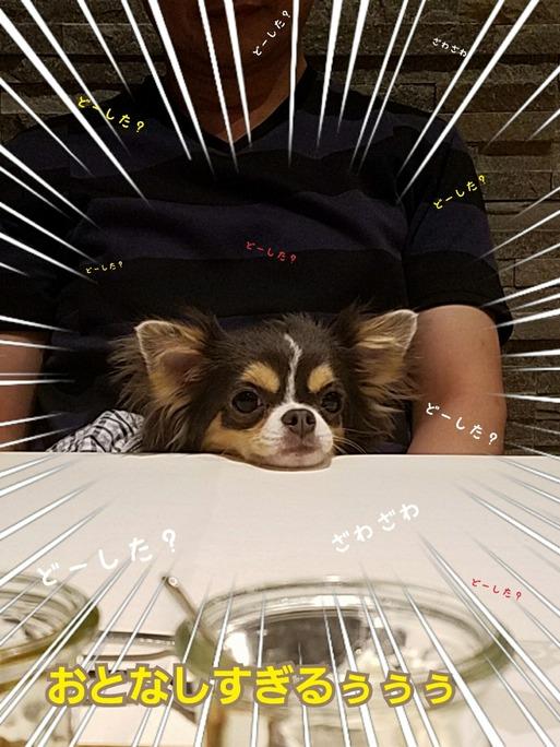【犬旅】レジーナリゾート夜ご飯  まりちゃんに異変が起こる編