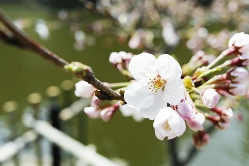 【犬とおでかけ】びわ湖の旅、桜を見たよ編