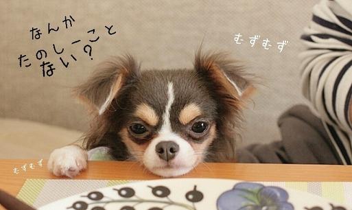 【チワワ】仔犬時代を振り返る