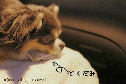 【チワワ】車酔いプロジェクト その③