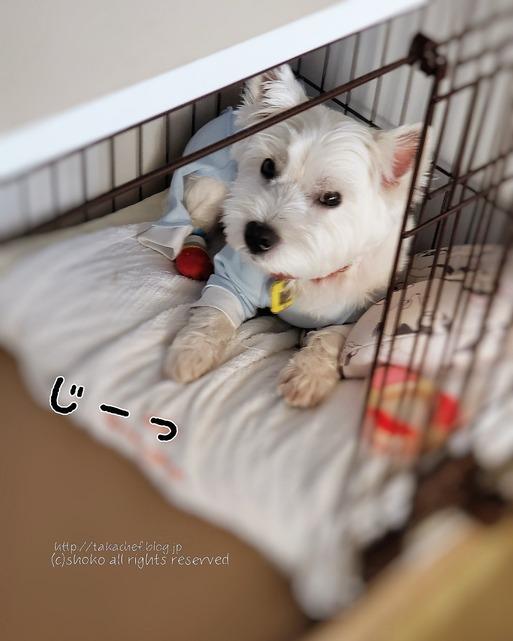 【ウエスティ&チワワ】飼い主の期待に応えるために、外出強いられる飼い主
