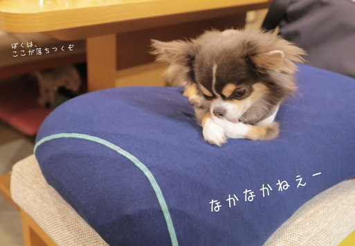 【チワワ】新調した枕 と アピール力抜群のチワワ