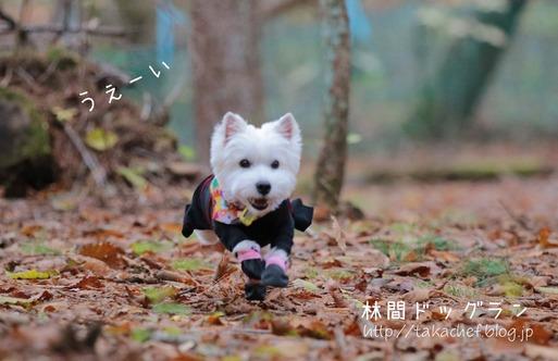 【ウエスティ】林間ドッグラン